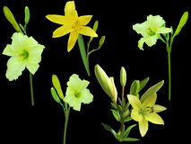 Five yellow lily flowers isolated on black Stock Images