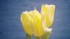 Five yellow tulips in a bouquet on a blue background. Five yellow tulips in a vase on a blue background, the movement from right to left stock video