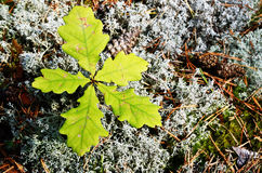 Five young leaves of the oak Stock Photography