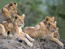 Five young lions. These lion cubs were photographed late one afternoon during a game drive in Kruger national Park. They were very nervous, possibly hiding from Royalty Free Stock Photography