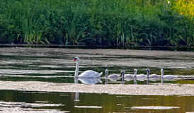 Five young swans and their mother. Royalty Free Stock Photos