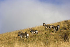 Five Zebra. Looking at the camera, Mountain Zebra National Park Royalty Free Stock Photo