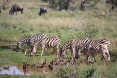 Five Zebra in Pond Near Brown-and-black Birds Soundring by Green Grass Royalty Free Stock Image