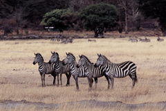 Five zebras Stock Photography