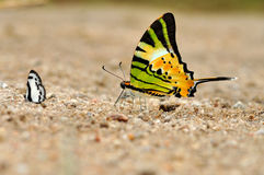 Fivebar Swordtail butterfly. Of Thailand background Royalty Free Stock Image