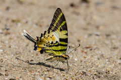 Fivebar Swordtail Butterfly Royalty Free Stock Photo