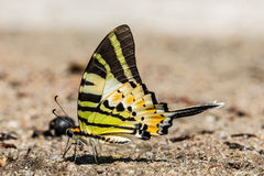 The Fivebar Swordtail Butterfly Royalty Free Stock Photography