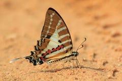 fivebar swordtail för fjäril arkivfoto