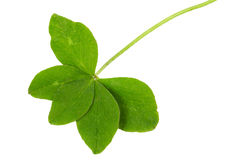 Fiver-leaf clover Stock Images