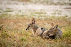 Fixation à dos noir de deux jeune chacals photos libres de droits