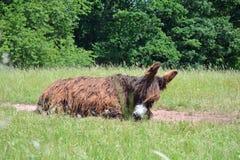 Fixation d'ânes de Poitou Image libre de droits