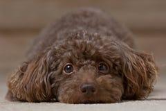 Fixation 4 de chien Images libres de droits