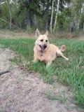 Fixation de chien Photo stock