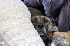 Fixation de chien de Brown Photographie stock libre de droits