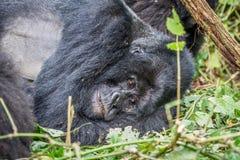 Fixation de gorille de montagne de Silverback photographie stock