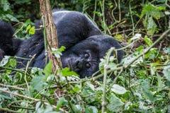 Fixation de gorille de montagne de Silverback photos stock