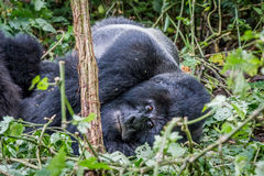 Fixation de gorille de montagne de Silverback image libre de droits