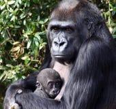 Fixation de gorille de terre en contre-bas occidentale sa chéri nouveau-née Photographie stock libre de droits