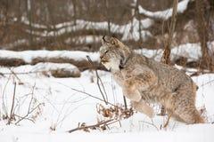 Fixation de Lynx à sauter images libres de droits