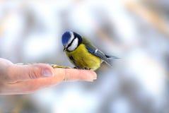 Fixation de main alimentant la mésange bleue (Paridae) Photographie stock libre de droits