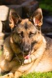 Fixation de race de Dog Canine Pet de berger allemand photos stock