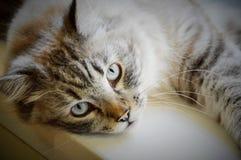 Fixation tigrée blanche de chat de mélange Photos stock
