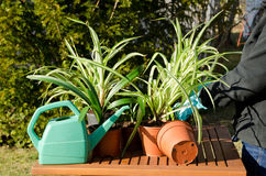 Fixing spider plants. In the garden Stock Image