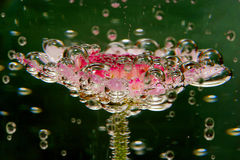 Fizzing Gerbera. Gerbera flower submerged in water with bubbles Royalty Free Stock Image