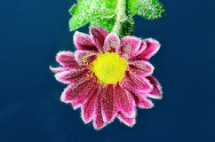 Fizzy Flower in water with bubbles Royalty Free Stock Image