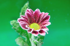 Fizzy Flower in water Royalty Free Stock Photos