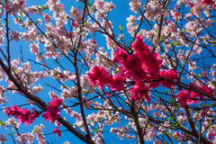 fjäder för blomma för dof för azaleablomningclose grund upp Royaltyfri Foto