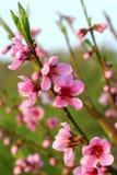 fjäder för blomma för dof för azaleablomningclose grund upp persika Royaltyfri Fotografi