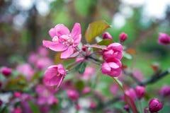 fjäder för foto för äppleblomningträdgård fotografering för bildbyråer