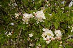 fjäder för foto för äppleblomningträdgård Royaltyfria Bilder