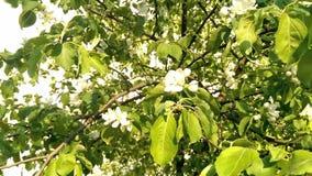fjäder för foto för äppleblomningträdgård stock video