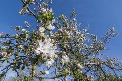 fjäder för foto för äppleblomningträdgård Royaltyfri Fotografi