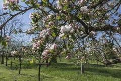fjäder för foto för äppleblomningträdgård Arkivbild