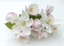 fjäder för foto för äppleblomningträdgård Arkivbilder