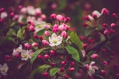 fjäder för foto för äppleblomningträdgård Arkivfoto