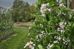 fjäder för foto för äppleblomningträdgård Royaltyfri Bild