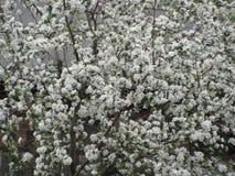 fjäder för foto för äppleblomningträdgård Royaltyfria Foton