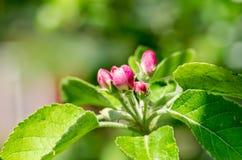 fjäder för foto för äppleblomningträdgård Royaltyfri Foto