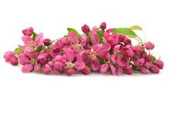 fjäder för pink för paradis för ljusa blommor för äpple trädgårds- Fotografering för Bildbyråer