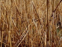 Fjäder-gräs Royaltyfria Foton