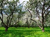 Fjäder i äppleträdgård Royaltyfri Bild