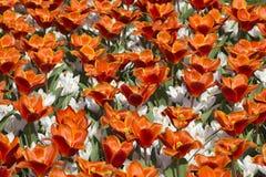 Fjäderblommor i Nederländerna Royaltyfri Bild