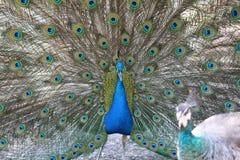 Fjäderdräkt av en påfågel Arkivbilder