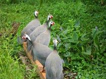 fjäderfä guinea Royaltyfria Foton