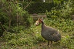 fjäderfä guinea Royaltyfri Fotografi