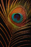 fjäderfirebird Royaltyfri Fotografi